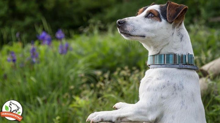 Allergiás kutyák - civilizációs ártalom?