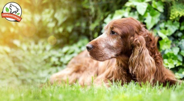 Öreg kutya, nem vén kutya - hogyan állj át, hogyan barfozz idős kutyával?